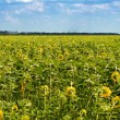 Field of sunflowers — Stock Photo #3330413