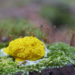 Slime mould — Stock Photo