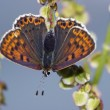 Greasy fritillary - Stock Photo