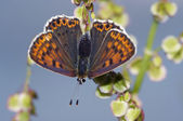 Greasy fritillary — Stock Photo