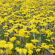 Yellow meadow - flowering dandelions — Stock Photo #2724651