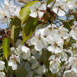 Stock Photo: In blossom