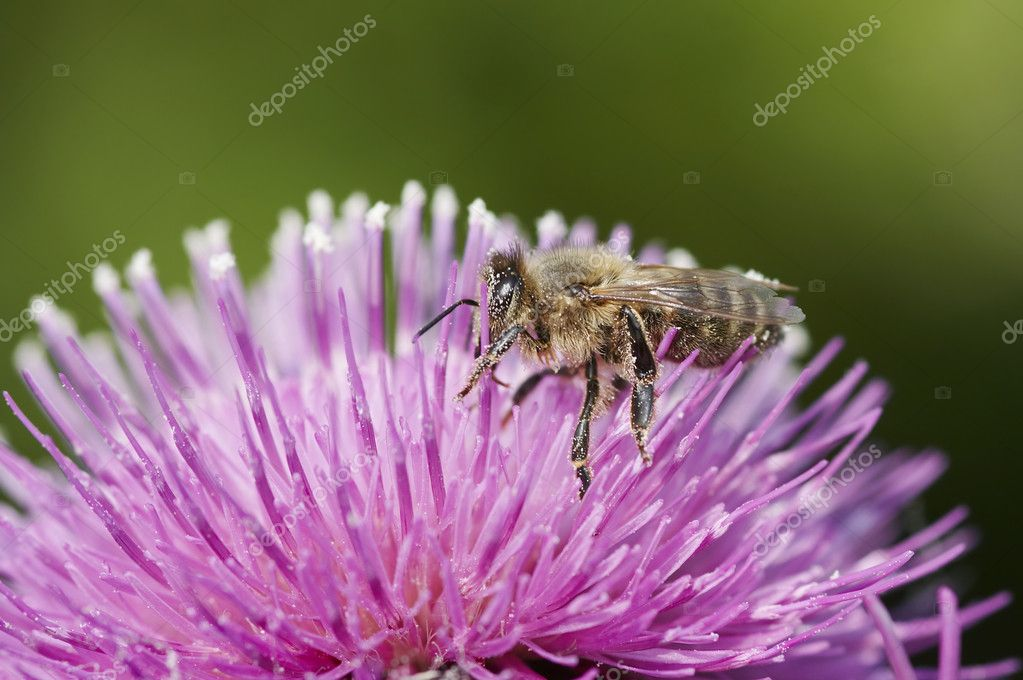 Detail (close-up) of the honeybee with antheral dust - pollination — Stock Photo #2725522