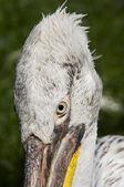 Head of the Dalmatian pelican — Stock Photo
