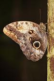 蓝蝶 — 图库照片