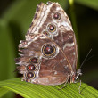 Blue Morpho Butterfly — Stock Photo #3091962
