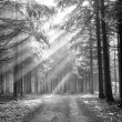 Stock Photo: God beams - coniferous forest in fog