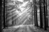 God beams - coniferous forest in fog — Stock Photo