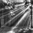 God beams - coniferous forest in fog - Stock Photo