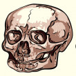 Royalty-Free Stock Vector Image: Various human skulls - vector