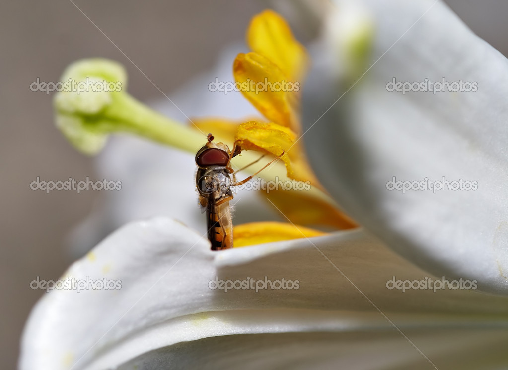 Detail (close-up) of the syrphid-fly - two-winged insects — Stock Photo #3810043