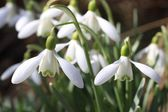 Snowflake flower — Stock Photo