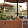 Egyptian cat in the resort — Stock Photo #2728234