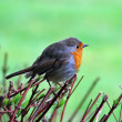 European robin bird - Stock Photo