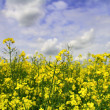 Stock Photo: Yellow field