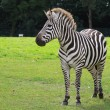 Stock Photo: Zebra portrait