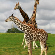 Giraffes family — Stock Photo #3788755