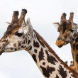 Stock Photo: Giraffes portrait