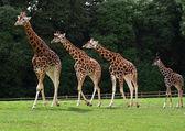 Giraffes family — Stock Photo