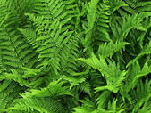 Fern — Stock Photo