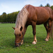 Stock Photo: Horse in meadow in paddock
