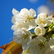 Blue sky and white cherry blossom — Stock Photo