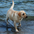 Labrador retriever coming out of water — Stock Photo #2710785