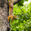 Squirrel hanging on the tree — Stock Photo #3151318