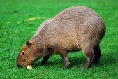 Kapibara wypas na trawniku — Zdjęcie stockowe