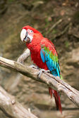 Macaw on the branch — Stock Photo