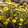 Stock Photo: Coltsfoot