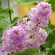 Lilacs in rain drops — Stock Photo #3234283