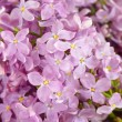 Lilacs in rain drops — Stock Photo #3248407
