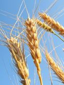 Ears of ripe wheat in the background of blue sky. — Stock Photo