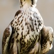 Saker Falcon (Falco cherrug) — Stock Photo