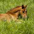 Foal laying in pasture — Foto de Stock