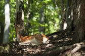 Fallow Deer - Dama dama — Stock Photo