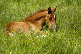 Foal laying in pasture — Stock Photo
