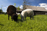 Traditional Slovakian village with sheeps — Stockfoto