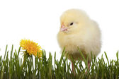 Chick in grass with dandelion — Stock Photo