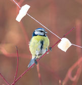 Blue tit and bits of lard — Stock Photo