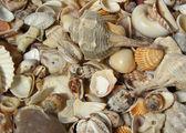 Many different seashells — Stock Photo