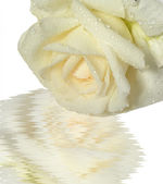 Beige rose — Stock Photo