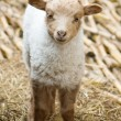 Royalty-Free Stock Photo: Lamb
