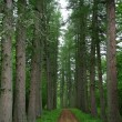 Larch forest — Stock Photo