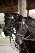 Harnessed atlar — Stok fotoğraf