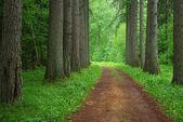 Floresta de lariço — Fotografia Stock