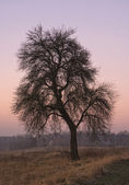 Tree in the evening — Stock Photo