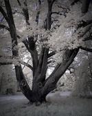 Old tree winter — Stock Photo