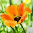 Open orange tulip — Stock Photo